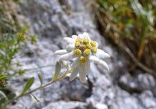 Edelweiss (alpinum del Leontopodium) Immagine Stock