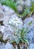 Edelweiss (alpinum del Leontopodium) Immagini Stock Libere da Diritti