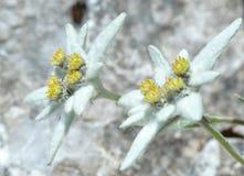 Edelweiss (alpinum del Leontopodium) Fotografie Stock