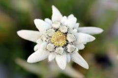 Edelweiss (alpinum Leontopodium) Royalty-vrije Stock Foto's