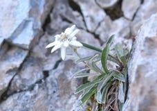 Edelweiss (alpinum Leontopodium) Стоковая Фотография RF