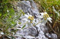Edelweiss (alpinum Leontopodium) Стоковое Изображение RF