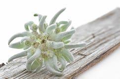 Edelweiss blomma på ett stycke av trä arkivfoton