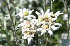 Edelweiss blossom. Close-up Stock Photography