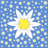 Edelweiss on blue background Stock Images