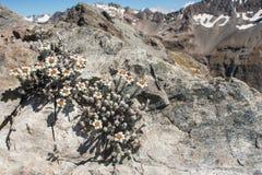 Edelweiss che cresce sulla roccia Fotografie Stock Libere da Diritti
