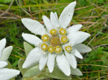 Edelweiss 5 stock photo