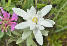 Edelweiss 15 Royalty Free Stock Photo