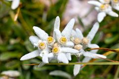 Edelweiss closeup in the mountains royalty free stock images