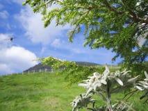 Edelweiss con la abeja del vuelo en las montañas Imágenes de archivo libres de regalías