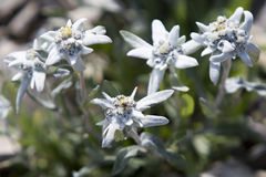 Edelweiss in den Schweizer Alpen Stockfotografie