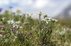 Edelweiss. Leontopodium alpinum Cass., Valais, Switzerland Royalty Free Stock Images