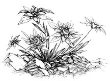 Edelweiss etch Stock Photo