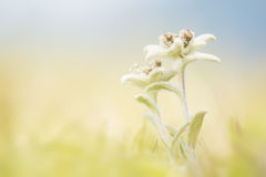 Edelweiss in the field Stock Photography