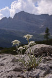 Edelweiss in Flavona alp. Biotype of Tovel lake royalty free stock photo