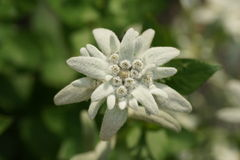 Edelweiss flower Stock Images
