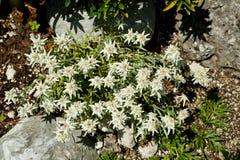 Edelweiss flower . Stock Photos