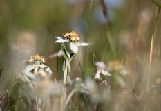 Edelweiss flower. In green grass sonne Stock Photos