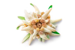 Edelweiss stock photography