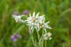 Edelweiss flower meadow Stock Image