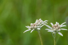 Edelweiss flower meadow Stock Photos