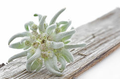 Free Edelweiss Flower On A Piece Of Wood Stock Photos - 25815463