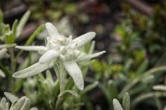 Edelweiss flower Stock Photos
