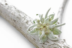 Edelweiss flower on a piece of wood stock photos