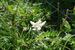 Edelweiss flower. In the spanish pyrenees Royalty Free Stock Photography