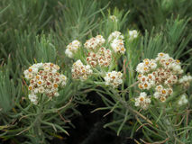 Edelweiss flower Stock Image