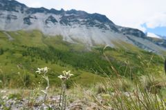 Edelweiss flowers on the background of mountains. Mountain summer landscape, green nature scape mountains stock image