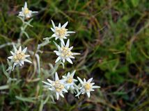 Edelweiss flowers on a blurred natural background. Swiss cabbage royalty free stock image