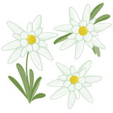Edelweiss flowers Royalty Free Stock Images