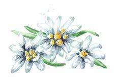 Edelweiss flowers Leontopodium alpinum, Watercolor hand drawn illustration isolated on white background