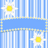 Edelweiss flowers on light blue stripes with a large copy space Royalty Free Stock Photo