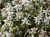 Edelweiss flowers on the meadow in the Alps Stock Images