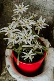 Edelweiss flowers in a red pot Royalty Free Stock Image
