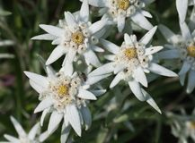 Edelweiss flowers Stock Images