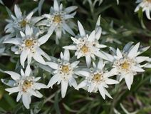 Edelweiss flowers Stock Photos
