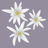 Edelweiss flowers. White flowers. Stock Photos