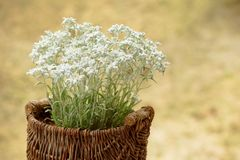 Edelweiss flowers in a woven basket outdoors Stock Photography