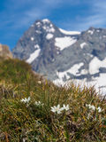 Edelweiss in Hohe Tauern. National Park, Austria Stock Image