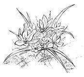 edelweiss Imagen aislada ilustración del vector