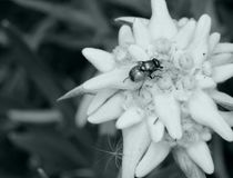 Edelweiss and insect royalty free stock image