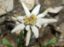 Edelweiss, Leontopodium Alpinum Royalty Free Stock Images