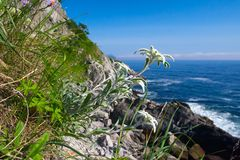 Edelweiss, Leontopodium alpinum. Is a well-known mountain flower, belonging to the sunflower family Stock Photo