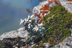 Edelweiss (Leontopodium alpinum) Royalty Free Stock Image