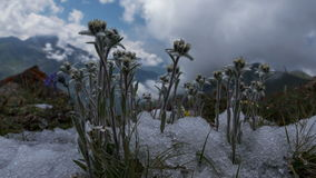 Edelweiss mountains flowers floral clouds time lapse panorama 4k stock footage