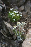 Edelweiss in the mountains Royalty Free Stock Image