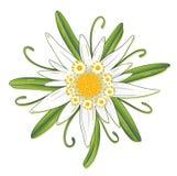 Edelweiss, Oktoberfest Royalty Illustrazione gratis